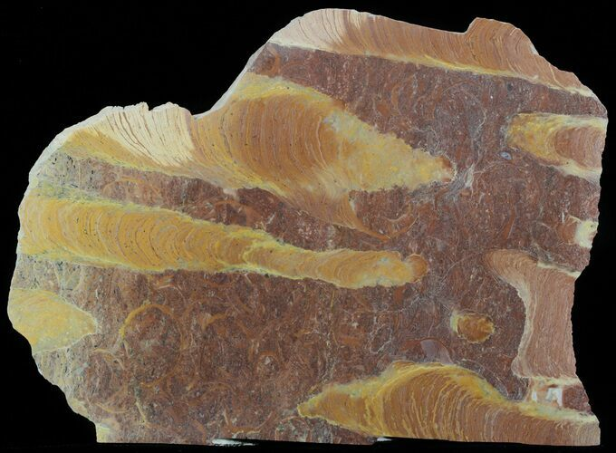 "9.1"" Polished Stromatolite (Jurusania) From Russia - 950 Million Years"