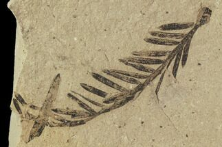 Metasequoia (Dawn Redwood) - Fossils For Sale - #102339