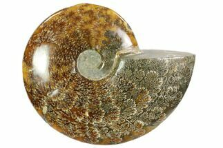 Cleoniceras - Fossils For Sale - #102603