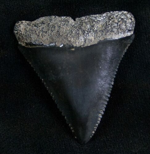 Fossil Great White Shark Tooth - 1.55""