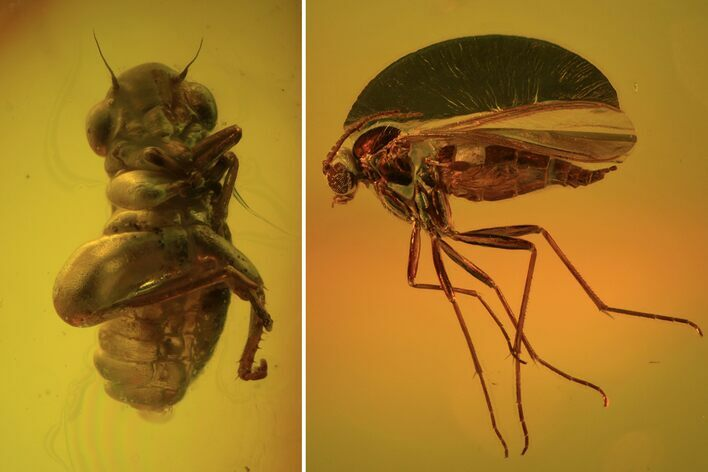 Fossil Cicada (Auchenorrhyncha) Nymph & Fly (Diptera) In Baltic Amber