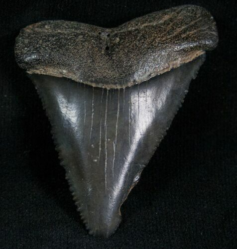 Fossil Great White Shark Tooth - 1.90""
