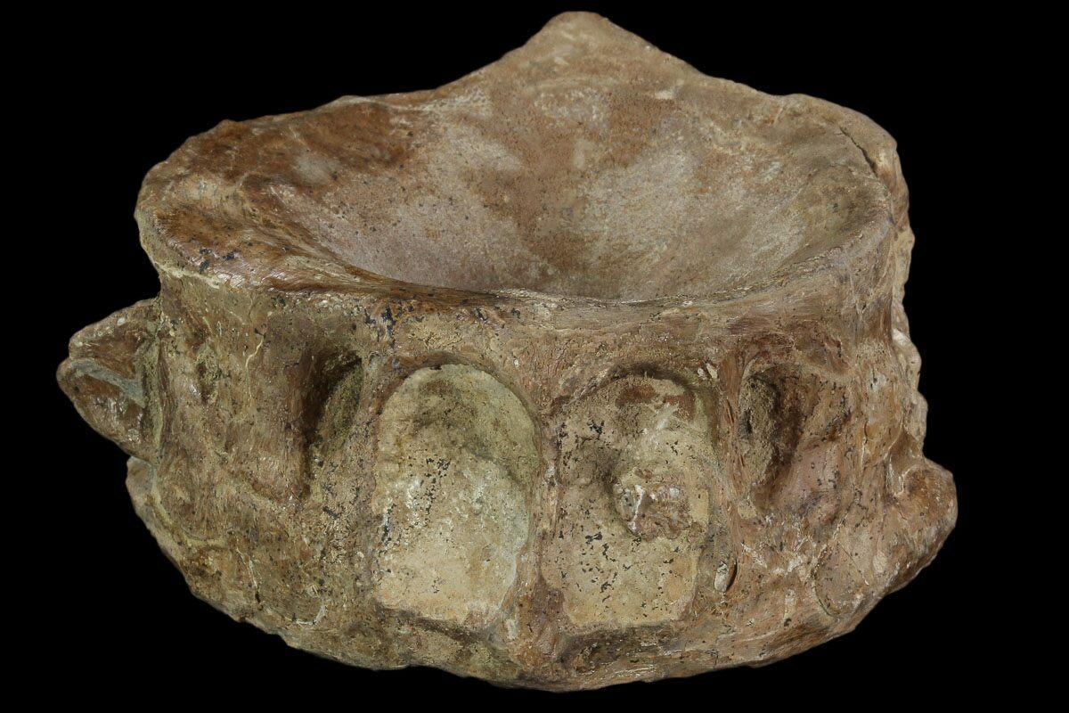 "2.7"" Xiphactinus (Cretaceous Fish) Vertebra - Kansas For ..."