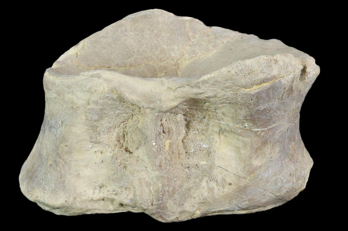 "2.8"" Xiphactinus (Cretaceous Fish) Vertebra - Kansas For ..."