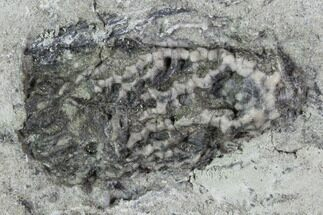 "Buy 1"" Crinoid (Pachylocrinus) Fossil - Crawfordsville, Indiana - #102979"