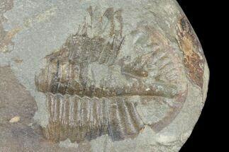 ".81"" Partial Ogyginus Cordensis - Classic British Trilobite For Sale, #103118"