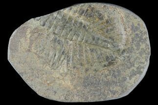 "1.1"" Partial Ogyginus Cordensis - Classic British Trilobite For Sale, #103145"