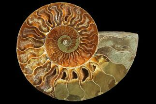 "4.2"" Agatized Ammonite Fossil (Half) - Madagascar For Sale, #103097"