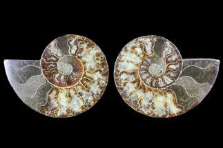 Cleoniceras - Fossils For Sale - #103077