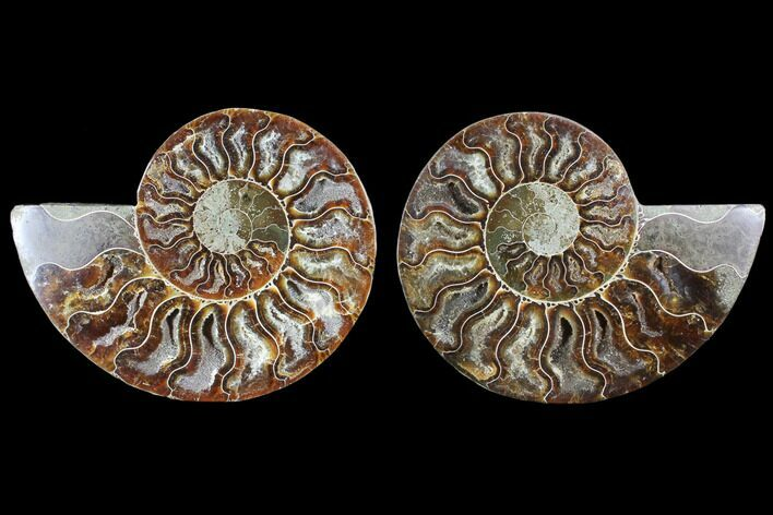 "4.1"" Cut & Polished Ammonite Fossil - Crystal Chambers"