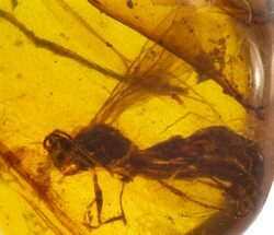 Buy Cretaceous Fossil Wasp (Hymenoptera) in Amber - Myanmar - #102925