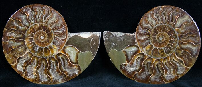 "4.2"" Cut and Polished Ammonite Pair"