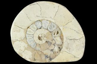"Buy 2.1"" Polished Ammonite (Hildoceras) Fossil - England - #103978"