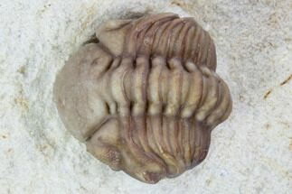 ".7"" Wide, Enrolled Lochovella (Reedops) Trilobite - Oklahoma For Sale, #94004"