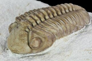 "Detailed, 1.25"" Long Kainops Trilobite - Oklahoma For Sale, #104033"