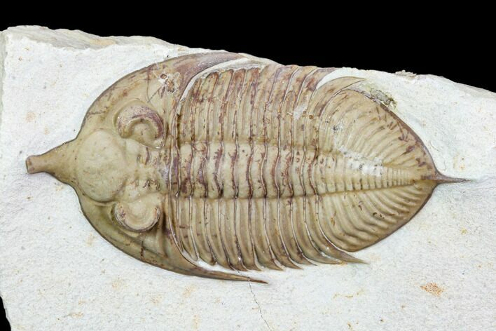 "3.05"" Huntonia Trilobite - Black Cat Mountain, Oklahoma"
