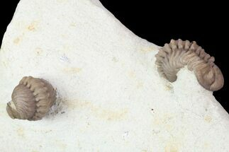 Buy Two Nice Paciphacops Trilobites - Oklahoma - #104101