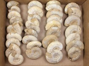 Buy Wholesale Lot: 10 Lbs Perisphinctes Ammonite Fossils - 35 Pieces - #103888