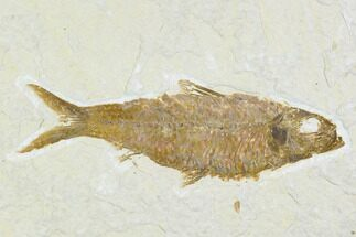 "Buy 3.9"" Detailed Fossil Fish (Knightia) - Wyoming - #104182"