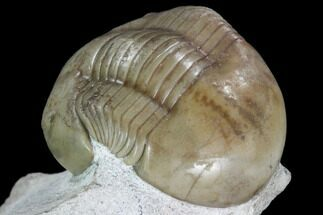 "Buy 1.5"" Rare, Russian Dysplanus Trilobite - Beautiful Specimen - #104572"