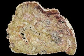 "Buy 7.9"" Rare, Petrified Hardwood Slab ""Double-Hearted"" - Burma - #104890"