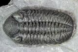 "1.53"" Phacops Araw Trilobite - Scarce Phacopid Species - #104959-3"