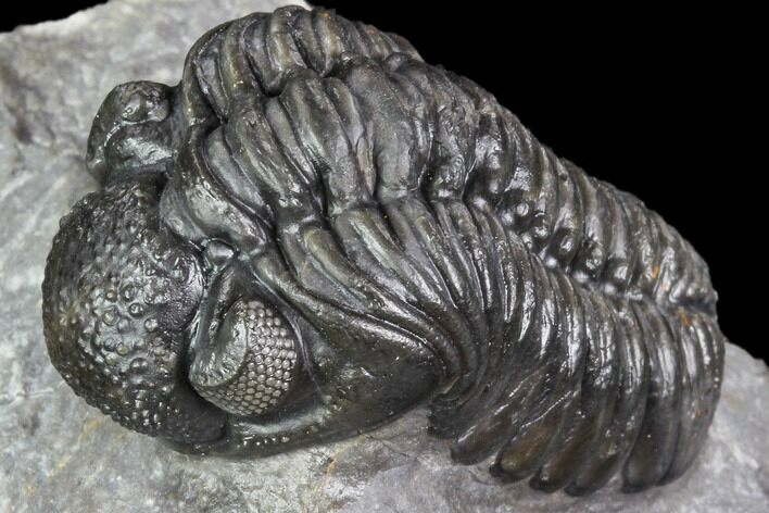 "1.8"" Adrisiops Weugi Trilobite - Scarce Phacopid Species"
