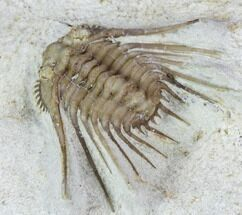 "Bargain, .73"" Kettneraspis Trilobite - Black Cat Mountain, Oklahoma For Sale, #104045"