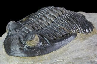 "Buy Beautiful, 1.75"" Hollardops Trilobite - Orange Eyes - #105148"