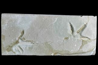 Sandpiper or Plover - Fossils For Sale - #105537