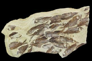 Gosiutichthys parvus (Knightia?) - Fossils For Sale - #105414