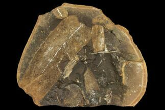 Neuropteris - Fossils For Sale - #106053
