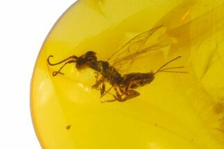 Cretaceous Fossil Wasp (Hymenoptera) in Amber - Myanmar For Sale, #105986