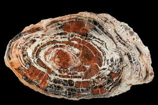 "Buy 22.5"" Red/Black Petrified Wood (Araucarioxylon) Slab - Arizona - #106309"