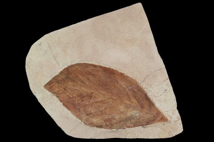 "5.5"" Fossil Leaf (Aesculus)- Montana"