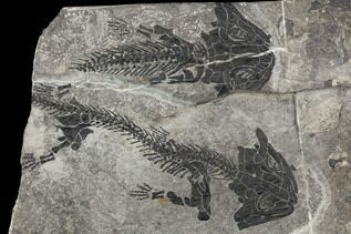 Reptile, Amphibians, Synapsids Fossils For Sale