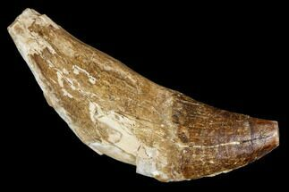 Unidentified Basilosaur - Fossils For Sale - #106326