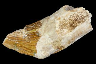 "1.7"" Primitive Whale (Basilosaur) Tooth - Dakhla, Morocco For Sale, #106334"
