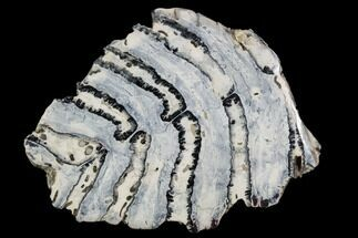 Mammuthus columbi - Fossils For Sale - #106410