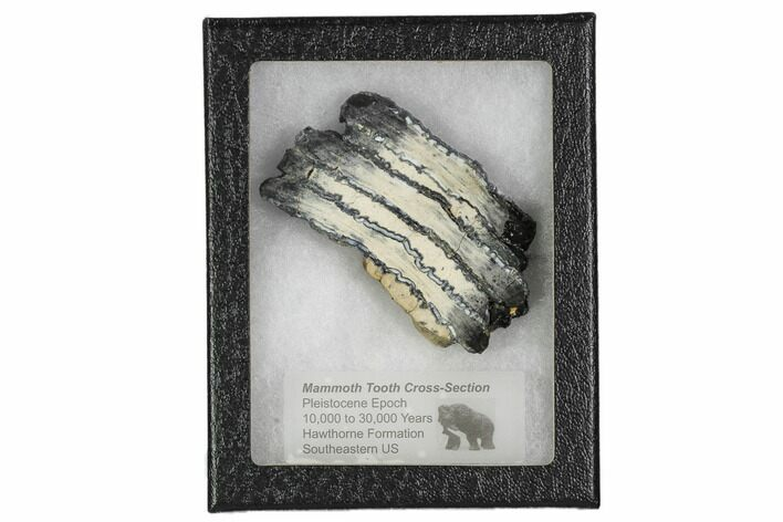 "3.2"" Mammoth Molar Slice With Case - South Carolina"
