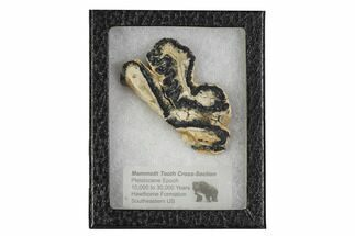 Mammuthus columbi - Fossils For Sale - #106428