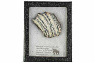 "2.7"" Mammoth Molar Slice With Case - South Carolina For Sale, #106430"