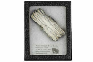 "Buy 3.5"" Mammoth Molar Slice With Case - South Carolina - #106513"