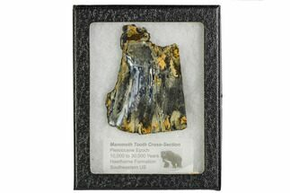 "3.2"" Mammoth Molar Slice With Case - South Carolina For Sale, #106481"