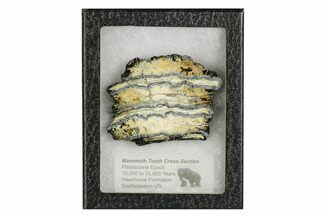 Mammuthus columbi - Fossils For Sale - #106482