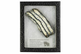 "Buy 3.6"" Mammoth Molar Slice With Case - South Carolina - #106552"