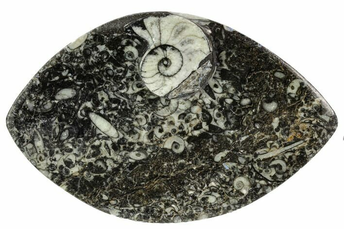 "5.5"" Wide, Fossil Goniatite Dish - Morocco"