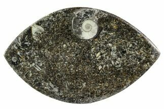 "Buy 5.3"" Wide, Fossil Goniatite Dish - Morocco - #106708"