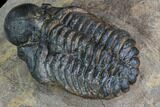 ".9"" Bubble Nose Actinopeltis Trilobite - Rare Species - #106849-1"