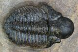 ".9"" Bubble Nose Actinopeltis Trilobite - Rare Species - #106849-4"